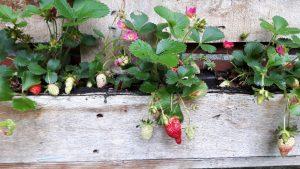Kräuter und Erdbeeren Ferienhaus Dieknüst in Leer